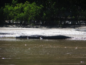 Caiman on the Manu River