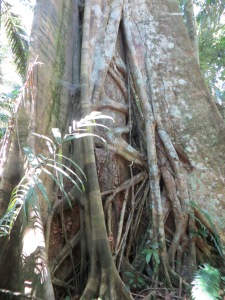 Parasitic tree in Manu National Park, Peru