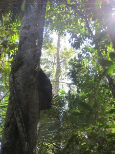 Giant termite nest in Manu National Park