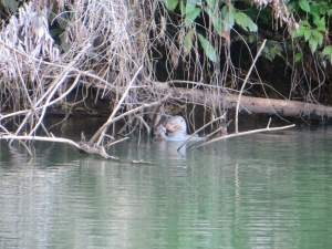 Giant river otter in Manu National Park