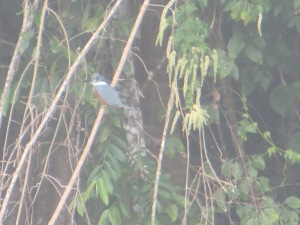 Ringed Kingfisher in Manu National Park