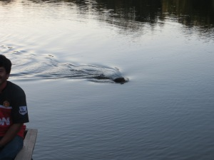 Giant River Otter following boat in Manu National Park