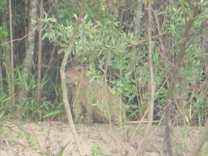 Capybara on the Manu River