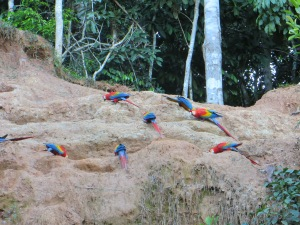 Macaws in Manu National Park