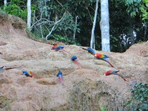 Macaws in Manu National Park