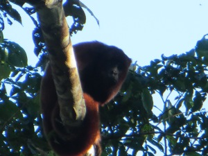 Red howler monkey in Manu National Park