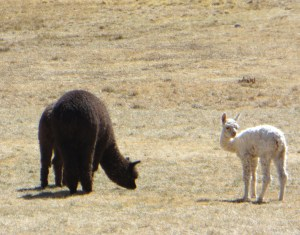Llamas and alpacas at Sacsayhuaman, Cusco
