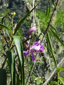 "Wiñay Wayna or ""forever young"" orchid"