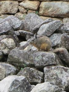 Viscacha in Machu Picchu