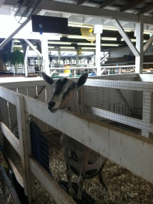 Goat at Montgomery County Agricultural Fair