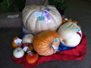 Giant pumpkins at Montgomery County Agricultural Fair