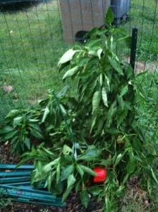 Bell pepper plant in the garden